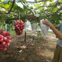 葫芦岛浪漫红颜葡萄苗种植基地 葫芦岛浪漫红颜葡萄苗供应价格