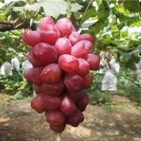 辽宁浪漫红颜葡萄苗供应价格 辽宁浪漫红颜葡萄苗种植基地