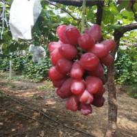 辽宁浪漫红颜葡萄苗种植基地 辽宁浪漫红颜葡萄苗供应价格