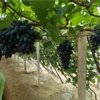 葫芦岛甜蜜蓝宝石葡萄苗种植基地