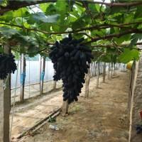 辽宁甜蜜蓝宝石葡萄苗种植基地 辽宁甜蜜蓝宝石葡萄苗供应价格
