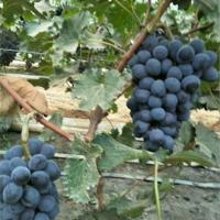 葫芦岛蜜光葡萄苗种植基地 葫芦岛蜜光葡萄苗供应价格
