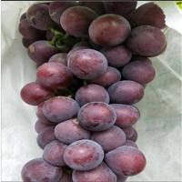 辽宁蜜光葡萄苗种植基地 辽宁蜜光葡萄苗供应价格