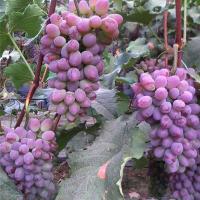 葫芦岛茉莉香葡萄苗供应价格 葫芦岛茉莉香葡萄苗种植基地