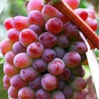 葫芦岛茉莉香葡萄苗种植基地 葫芦岛茉莉香葡萄苗供应价格
