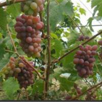 辽宁茉莉香葡萄苗供应价格 辽宁茉莉香葡萄苗种植基地