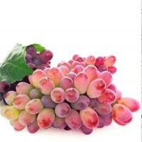 辽宁茉莉香葡萄苗种植基地 辽宁茉莉香葡萄苗供应价格