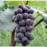 葫芦岛夏黑葡萄苗供应价格 葫芦岛夏黑葡萄苗种植基地