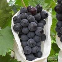 葫芦岛夏黑葡萄苗种植基地 葫芦岛夏黑葡萄苗供应价格