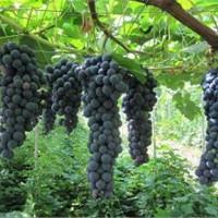 辽宁夏黑葡萄苗供应价格 辽宁夏黑葡萄苗种植基地