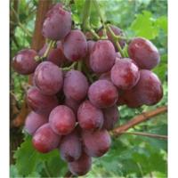 葫芦岛新郁葡萄苗供应价格 葫芦岛新郁葡萄苗种植基地