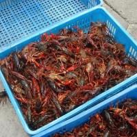葫芦岛淡水小龙虾种苗繁育基地 葫芦岛淡水小龙虾种苗供应价格