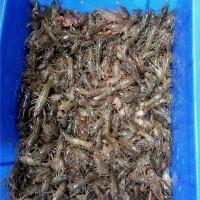 四川原塘小龙虾种苗繁育基地 四川原塘小龙虾种苗供应价格