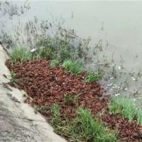 四川小龙虾幼苗供应价格 四川小龙虾幼苗繁育基地