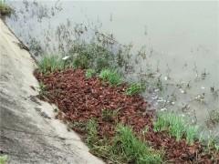 葫芦岛小龙虾幼苗繁育基地 葫芦岛小龙虾幼苗供应价格