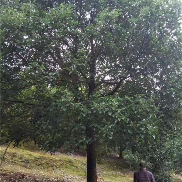 益阳香樟树批发供应基地,益阳香樟树供应价格