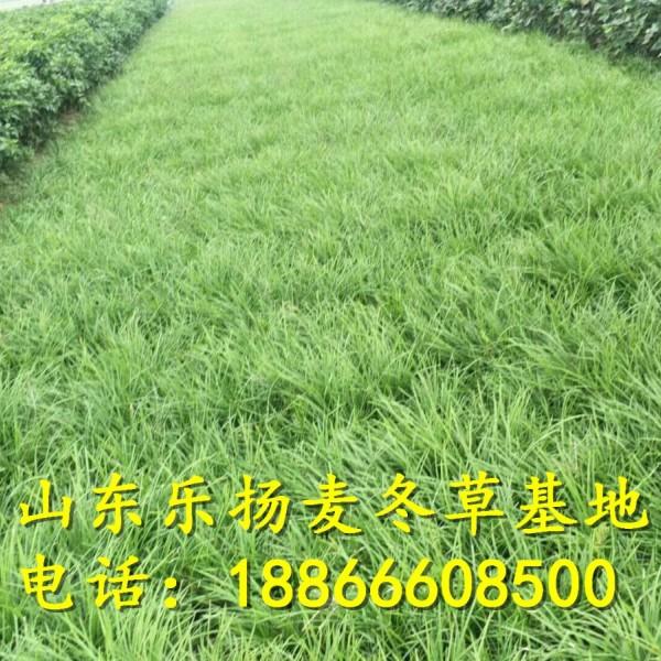 麦冬草价格\产地直销批发价格0.3元一斤