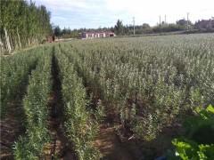 辽宁樟子松树苗供应基地 辽宁樟子松树苗批发价格