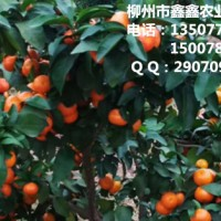 广西小叶香橙头沃柑苗价格出售