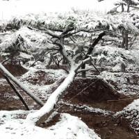 山东莱芜景观造型黑松基地批发价格 山东景观造型黑松基地价格