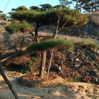 山东莱芜造型景观油松基地批发山东莱芜造型景观油松批发价格