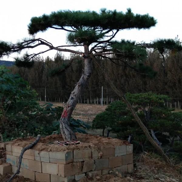 山东莱芜景观造型油松基地批发 山东莱芜景观造型油松批发价格