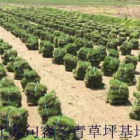江苏句容足球场马尼拉草坪供应价格 马尼拉草坪价格/供应