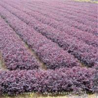 长沙红花继木树苗批发价格 长沙红花继木树苗供应基地