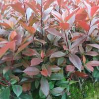 长沙红叶石楠树苗供应基地 长沙红叶石楠树苗批发价格