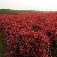 湖南红叶石楠树苗供应基地 湖南红叶石楠树苗批发价格