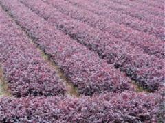 红花继木树苗