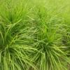 (中叶麦冬草)麦冬草产地批发价格0.3元一斤,哪里有麦冬草