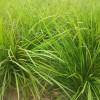 哪里有中叶麦冬草|今日麦冬草价格|中叶麦冬草
