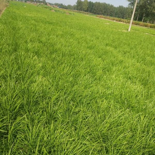 中叶麦冬草哪里有?园林绿化中叶麦冬草批发基地
