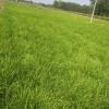 哪里有麦冬种苗?麦冬种子|麦冬苗价格|产地直销