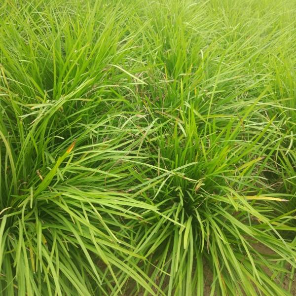 郑州麦冬草、开封麦冬草、安阳麦冬草、驻马店麦冬草