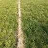 麦冬草价格一公斤|麦冬草多少钱一斤?麦冬草价格