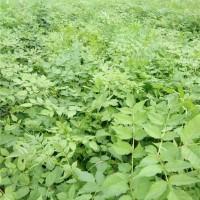 本溪刺嫩芽苗供应价格 本溪刺嫩芽苗采购基地