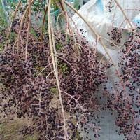 本溪刺嫩芽苗采购基地 本溪刺嫩芽苗供应价格