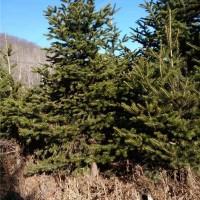 东北冷杉树苗采购基地 东北冷杉树苗供应价格