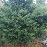 本溪红豆杉树苗供应价格 本溪红豆杉树苗采购基地