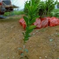 海口红江橙树苗供应价格海口红江橙树苗繁育基地