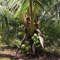 海南矮化椰子树苗繁育基地 海南矮化椰子树苗供应价格