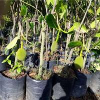 海口菠萝蜜树苗繁育基地 海口菠萝蜜树苗供应价格