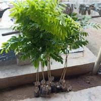 海南花梨树苗供应价格海南花梨树苗繁育基地