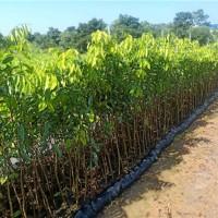 海口沉香树苗供应价格海口沉香树苗繁育基地