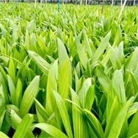 海口槟榔树苗繁育基地 海口槟榔树苗供应价格