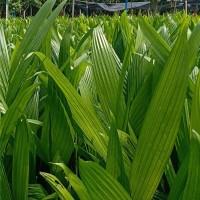 海南本地槟榔树苗繁育基地 海南本地槟榔树苗供应价格