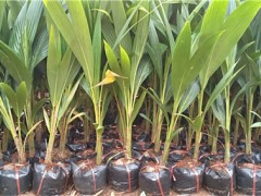 矮化椰子树苗