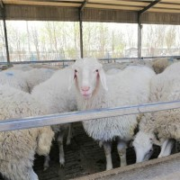 菏泽小尾寒羊养殖基地 菏泽小尾寒羊供应价格